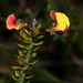 Bossiaea cordifolia - Photo (c) Alan Melville, some rights reserved (CC BY-NC-ND)