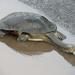 Tortugas Cuello de Serpiente - Photo (c) John D Reynolds, algunos derechos reservados (CC BY-NC)