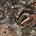 Elzunia pavonii - Photo (c) Roger Rittmaster, μερικά δικαιώματα διατηρούνται (CC BY-NC)