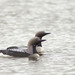 Arctic Loon - Photo (c) Никифорова Валерия, some rights reserved (CC BY-NC)