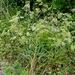 Falcaria vulgaris - Photo (c) Gernot HOCHMUELLER, algunos derechos reservados (CC BY)
