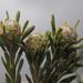 Leucadendron linifolium - Photo (c) Felix Riegel, algunos derechos reservados (CC BY-NC)