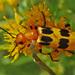 Escarabajos de Fuego - Photo (c) Jerry Oldenettel, algunos derechos reservados (CC BY-NC-SA)