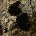 Andreaea rothii - Photo (c) Jeremy Barker, algunos derechos reservados (CC BY-NC)