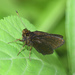 Mnasitheus chrysophrys - Photo (c) Roger Rittmaster, alguns direitos reservados (CC BY-NC)