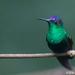 Thalurania ridgwayi - Photo (c) birdermark, μερικά δικαιώματα διατηρούνται (CC BY-NC)