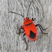 Red Bug - Photo (c) Colin Ralston, some rights reserved (CC BY-NC)