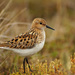 Little Stint - Photo (c) Никифорова Валерия, some rights reserved (CC BY-NC)