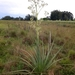 Eryngium pandanifolium - Photo (c) João Gava Just, μερικά δικαιώματα διατηρούνται (CC BY-NC)
