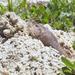Geomys - Photo (c) Terry Ross,  זכויות יוצרים חלקיות (CC BY-SA)