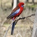 Crimson Rosella - Photo (c) James Bailey, some rights reserved (CC BY-NC)