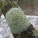 Lecanora strobilina - Photo (c) Rob Curtis, μερικά δικαιώματα διατηρούνται (CC BY-NC-SA)
