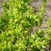 Batis argillicola - Photo (c) coenobita,  זכויות יוצרים חלקיות (CC BY)