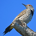 Gilded Flicker - Photo (c) Steven Mlodinow, some rights reserved (CC BY-NC)