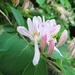 Lonicera × bella - Photo (c) Leanne Wallis, algunos derechos reservados (CC BY-NC)