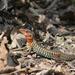 Holcosus undulatus hartwegi - Photo (c) Corey Lange, algunos derechos reservados (CC BY-NC)