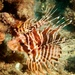 Hawaiian Lionfish - Photo (c) Craig Fujii, some rights reserved (CC BY-NC-ND)