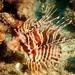 Pterois sphex - Photo (c) Craig Fujii, μερικά δικαιώματα διατηρούνται (CC BY-NC-ND)
