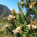 Andean Rosemary - Photo (c) Andrés Nicolás Ramírez, some rights reserved (CC BY)