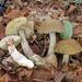 Leccinellum pseudoscabrum - Photo (c) Davide Puddu,  זכויות יוצרים חלקיות (CC BY-NC)