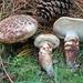 Tricholoma caligatum - Photo (c) Davide Puddu, μερικά δικαιώματα διατηρούνται (CC BY-NC)