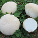 Lycoperdon - Photo (c) Davide Puddu, some rights reserved (CC BY-NC)