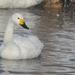 Cisne de Bewick - Photo (c) Илья Сухов, alguns direitos reservados (CC BY-NC)