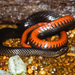 Black Swampsnake - Photo (c) Chris Harrison, some rights reserved (CC BY-NC)