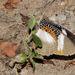 Elymnias bammakoo - Photo (c) Dennis White, algunos derechos reservados (CC BY-NC)