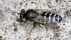 Blue Sand Wasp