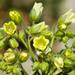 Emmenanthe penduliflora penduliflora - Photo (c) BJ Stacey, μερικά δικαιώματα διατηρούνται (CC BY-NC)