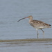 Eurasian Curlew - Photo (c) harshithjv, some rights reserved (CC BY-NC)