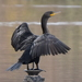 Double-crested Cormorant - Photo (c) Tommy Farquhar, some rights reserved (CC BY-NC)