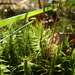 Waxyleaf Moss - Photo (c) belinda, some rights reserved (CC BY-NC-SA), uploaded by Belinda Lo