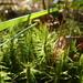 Dicranum polysetum - Photo (c) belinda,  זכויות יוצרים חלקיות (CC BY-NC-SA), uploaded by Belinda Lo