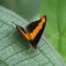 Catonephele nyctimus - Photo (c) Bioexploradores Farallones, algunos derechos reservados (CC BY-NC)