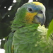 Orange-winged Parrot - Photo (c) hidroambientales, some rights reserved (CC BY-NC)