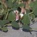 Capparis herbacea - Photo (c) Вячеслав Юсупов, some rights reserved (CC BY-NC)