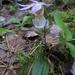 Calypso bulbosa bulbosa - Photo (c) Kari Pihlaviita, algunos derechos reservados (CC BY-NC)