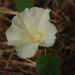 Operculina turpethum - Photo (c) tern911, algunos derechos reservados (CC BY-NC)