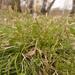 Carex pediformis macroura - Photo (c) Павел Голяков, algunos derechos reservados (CC BY-NC)