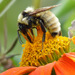 Golden Northern Bumble Bee - Photo (c) molanic, some rights reserved (CC BY-NC)
