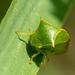 Stictocephala alta - Photo (c) moxostoma, algunos derechos reservados (CC BY)