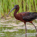 Glossy Ibis - Photo (c) bwood708, some rights reserved (CC BY-NC)
