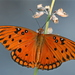 Gulf Fritillary - Photo (c) Mary Keim, some rights reserved (CC BY-NC-SA)
