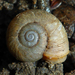 Alameda Lancetooth Snail - Photo (c) Robin Gwen Agarwal, some rights reserved (CC BY-NC)