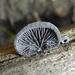 Hohenbuehelia grisea - Photo (c) Robin Gwen Agarwal, algunos derechos reservados (CC BY-NC)