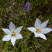Long-Rayed Brodiaea - Photo (c) randomtruth, some rights reserved (CC BY-NC-SA)