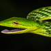 Northern Western Ghats Vine Snake - Photo (c) adityadhiran, some rights reserved (CC BY-NC)