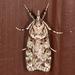Scoparia biplagialis - Photo (c) johnguerin, algunos derechos reservados (CC BY-NC)